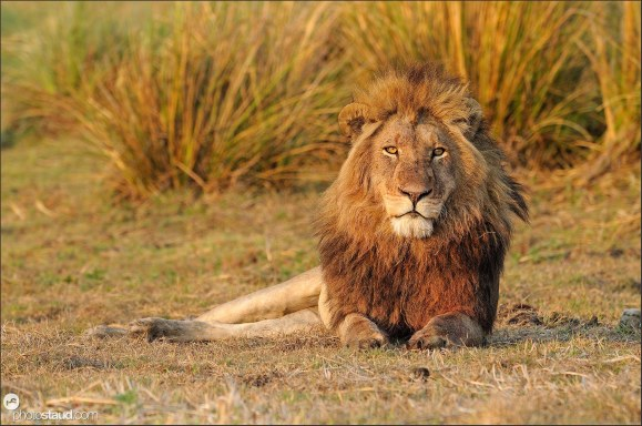 Lion male (Panthera leo) resting in Busanga Plains of Kafue National Park, Zambia