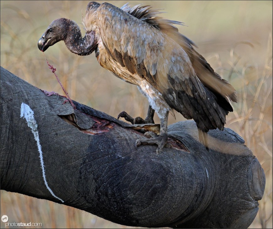 Vulture feeding on elephant body South Luangwa, Zambia